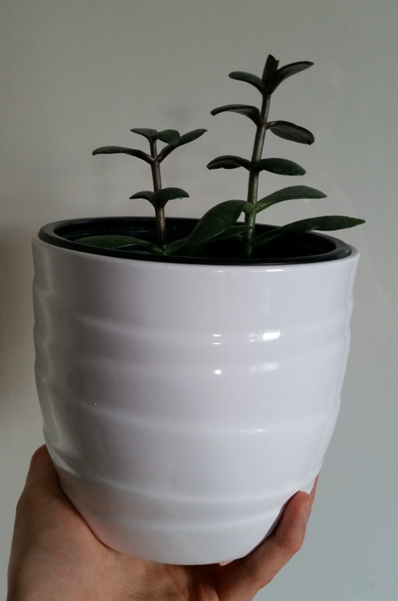 money plant, jade plant, houseplant, white plant pot, plant pot
